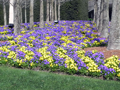 Spring flower bed of yellow and purple annuals