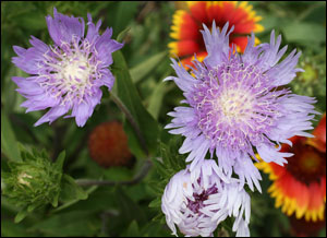 Purple Stokes' aster flowers