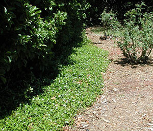 Asiatic jasmine bordering a mulched path