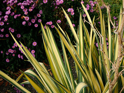 A variegated yucca