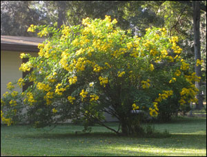 Very large cassia shrub covered in bright yellow flowers