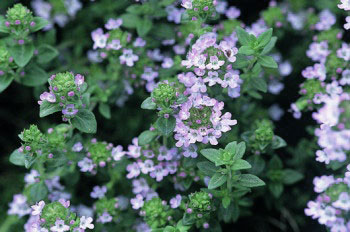 Thyme plant in flower
